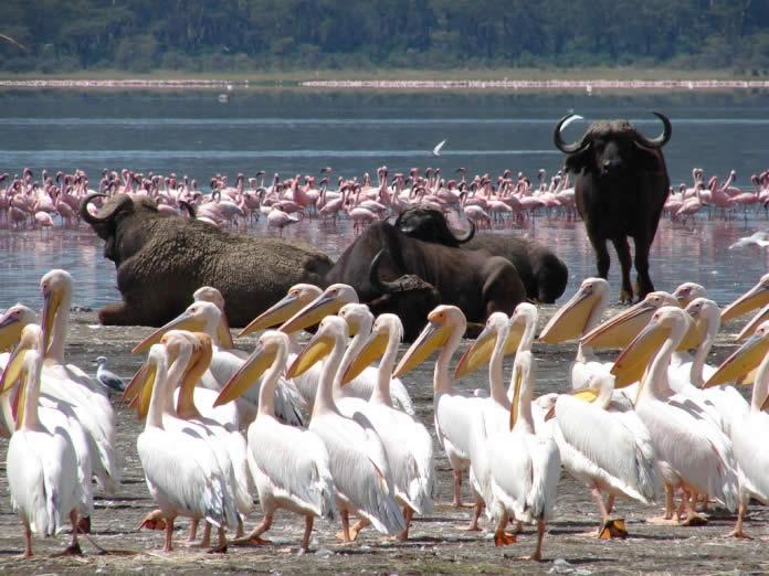 Nakuru Flamingoes